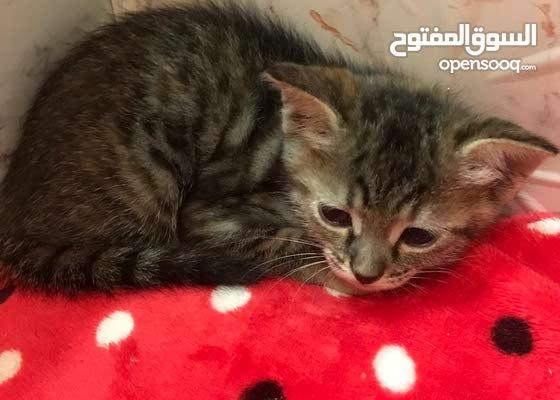 قطط الام شيرازي - الكتنز عمرهم شهر ونص سعر الواحد 15 دينار جميع القطط 50 دينار