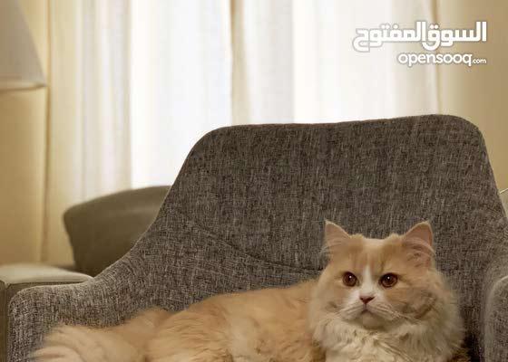 قط شيرازي ذكر للتزاوج - Persian Male Cat for Mating