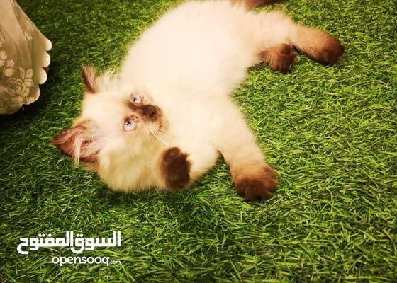 قطة برتش هملايا
