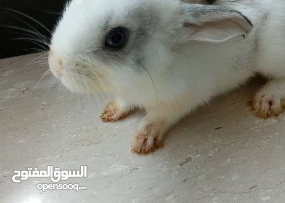 ارنب لبيع مع قفص  و اكل  ارنب سعر50  ر قفص 40