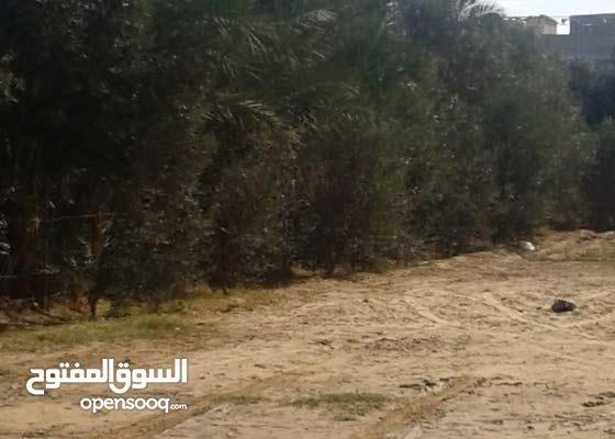 ارض 300 متر غرب بلدية الزوايدة مشجرة