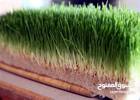 توريد اعلاف خضراء طازجة مفيدة لكافة انواع الحيوانات والطيور