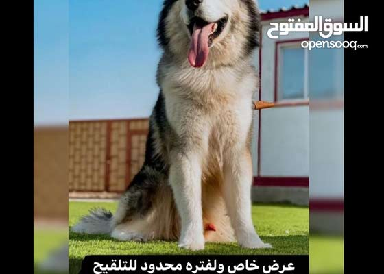 ذكر هاسكي للتلقيح فقط !! husky male for mting only