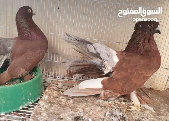 fantel pigeon
