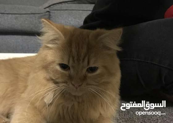 قط شيرازي عمره 5 شهور ذكي ولطيف