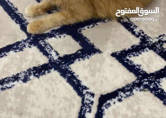 قطوه شيرازيه مع اطفالها 2