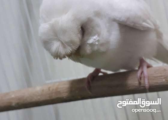 طير اليف