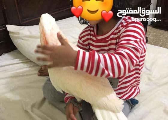 Moluccan Cockatoo 9-10 Months Super Jumbo