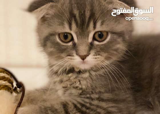 قطط سكوتش فولد للبيع غير قابل للتفاوض