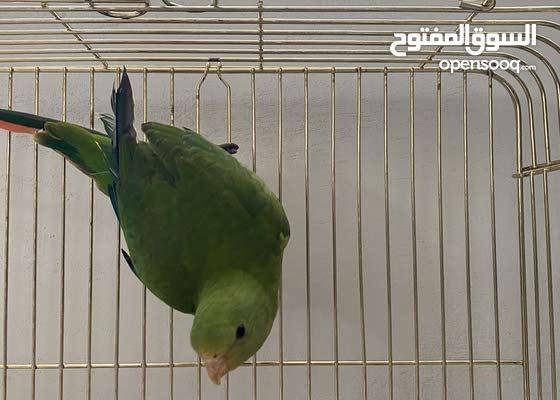 Rare Australian King Parrot
