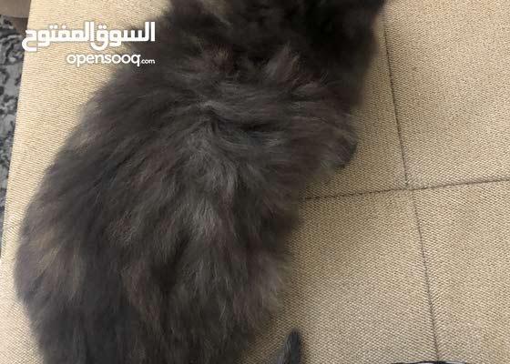 قطه شيرازي انثي العمر شهرين