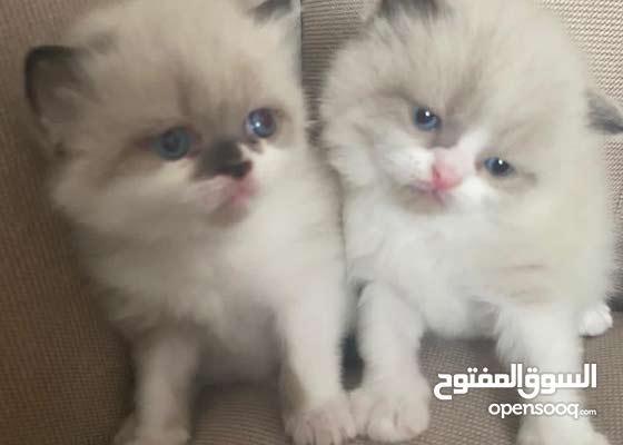 قطط شيرازي عمرهم 28يوم