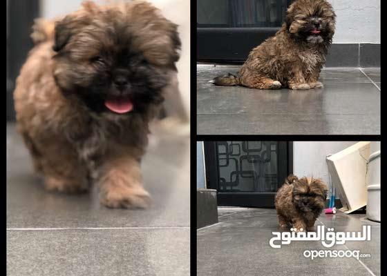 جرو شيتزو للبيع shih tzu puppy for sale