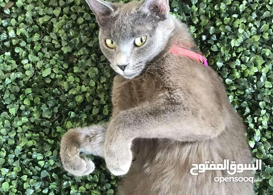 قطة شورت هير