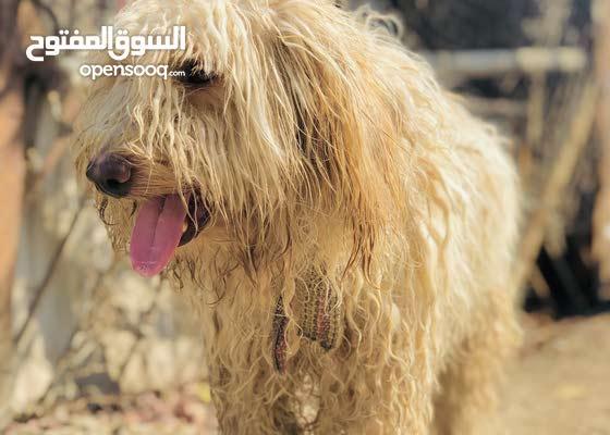كلب تيرير الحجم الكبير ريد نويز لونك هير ذكاء وحراسة فول