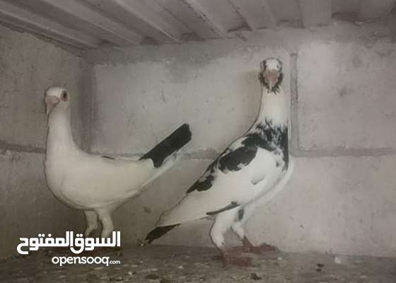 محلات عالم الطيور فرع العاصمة عمان :ألان متوفر شحن الطيور من ألاردن إلى البحرين.