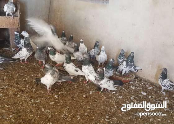 طيور للبيع فوق 60 حبه