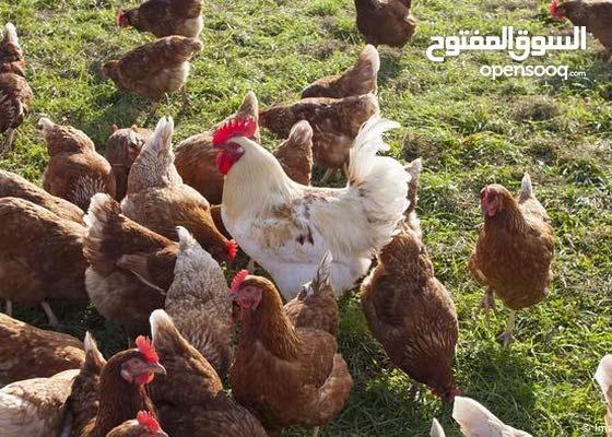 بيع الدجاج بالجمله ، الاسعار نناقشها