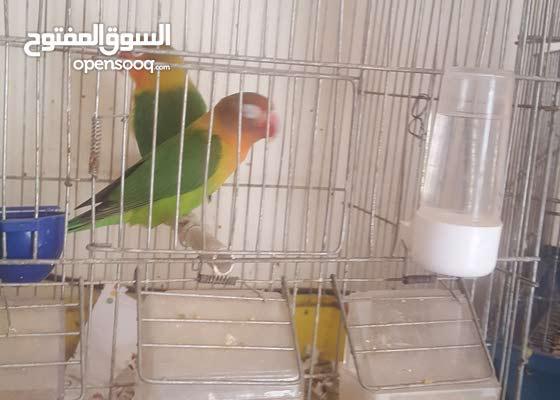 طيور راماج