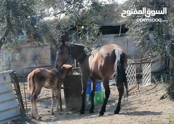 فرس طيبة أصل وفصل ومعها مهر عمرو 4 شهور من الفحل الراهي