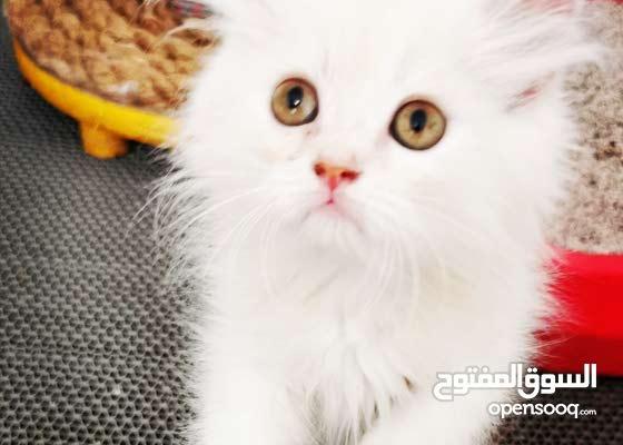 عدد 3 قطط شيرازيه منوعه العمر شهرين