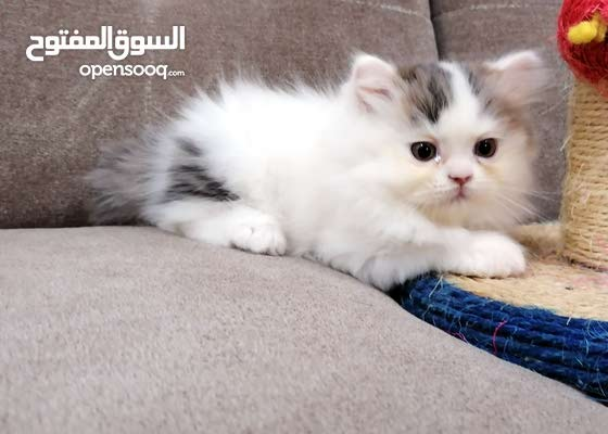 Pure Persian Bicolor female kitten moon face