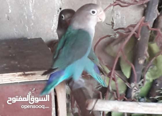 طيور غدورة