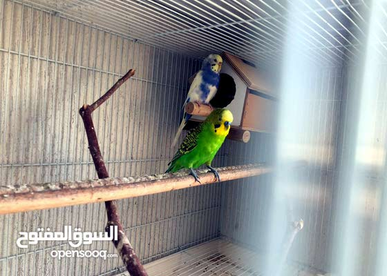 Breeding budgies for sale