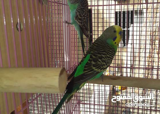 breeding pair budgie