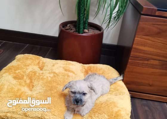 havanese puppy female