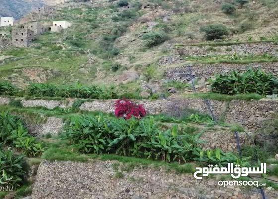 شتلات موز جبلي فاخر لحدائق القصور والفلل الفاخرة والإستراحات