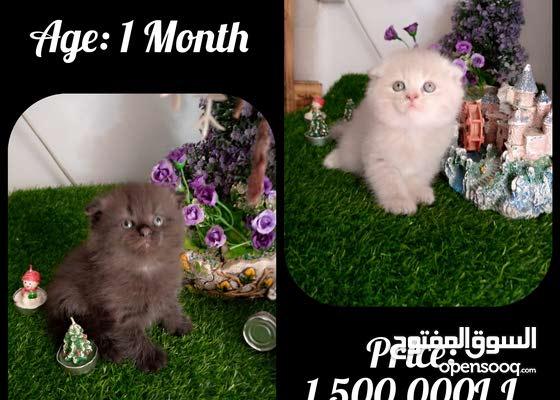 Scottish Fold Kittens