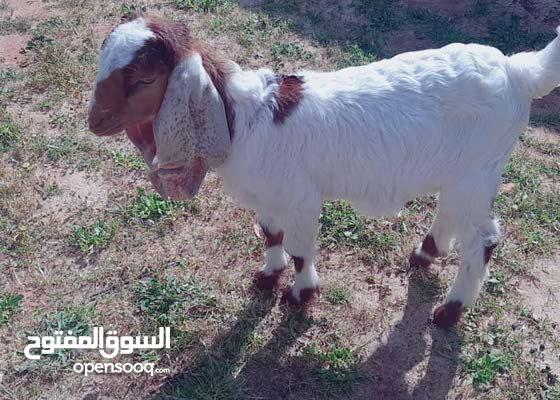 ماعز حجازي طويل الأذن 36 سانتي العمر شهرين تبارك رحمان