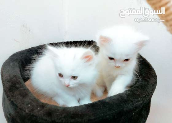 sold Male and Female cats  mix ragdoll with angora
