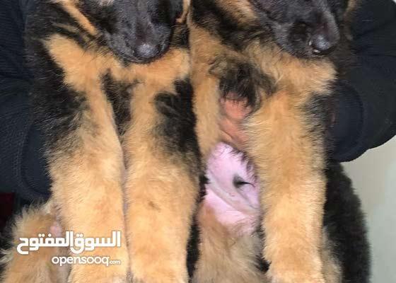 best puppy in egypt