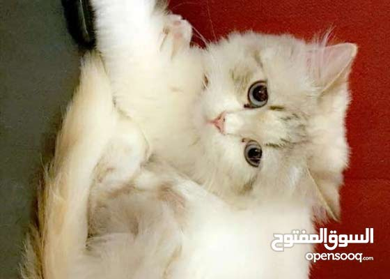 قطه انثي راغدول طالبه تزاوج