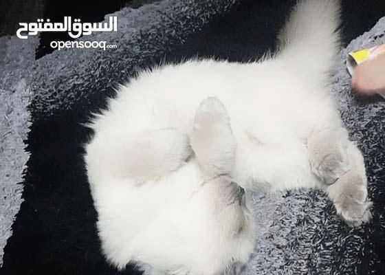 ragdoll male Cate
