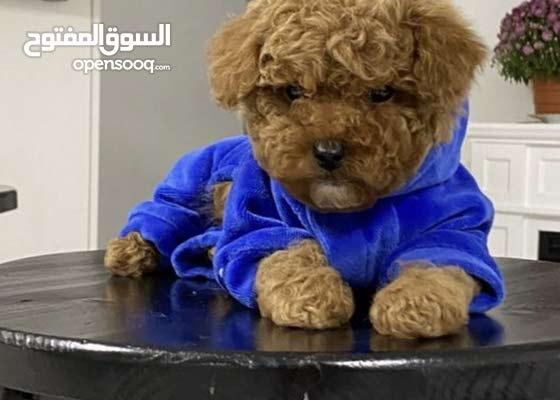 كلاب توي من جميع انواعها للبيع انتاج اوكرانيا toy poodles, maltipop , Pomeranian