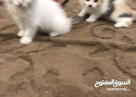 قطتين شيرازي عمر شهرين