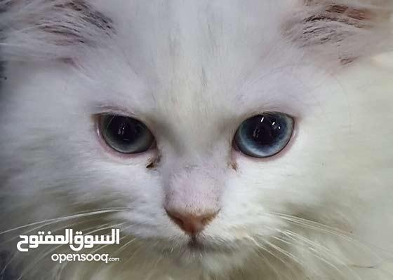 قطة شيرازى
