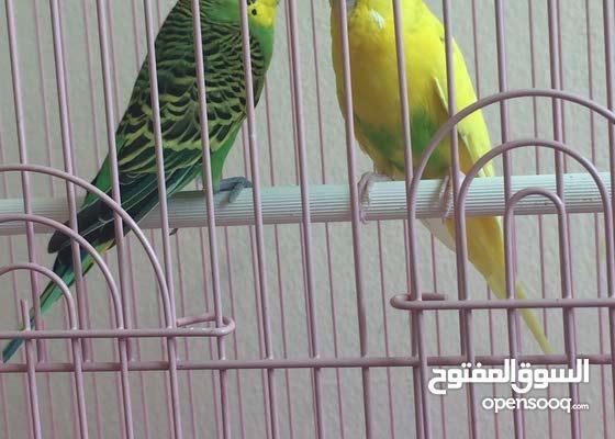 زوج عصافير مع القفص