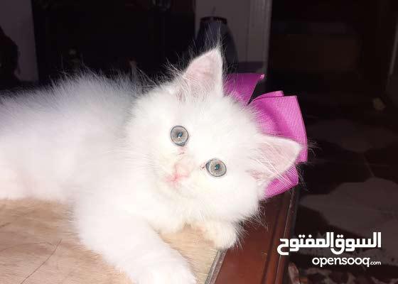 قطه شيرازي بيضاء سعر 250جنيه مصري