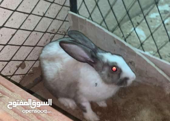ارانب كبار وصغار وحامل وذكر منتج