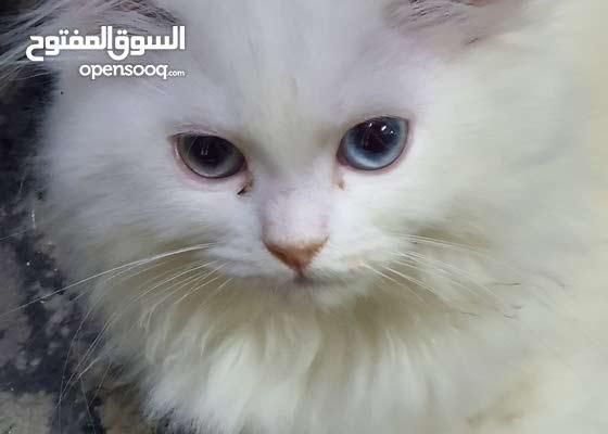 قطتى ) فلة (