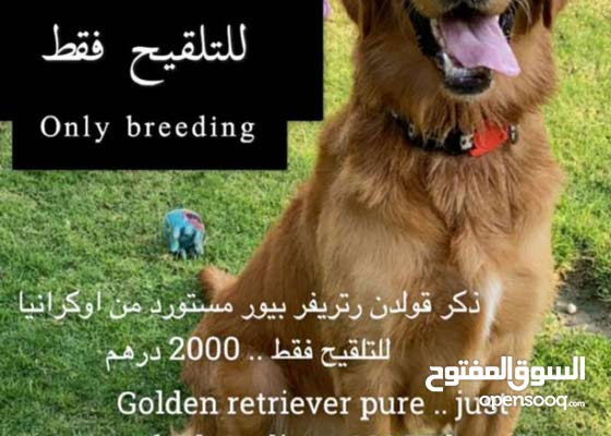 Golden Retriever Male for Mating only
