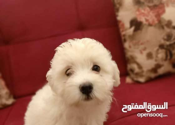 جراوي جريفون Griffon puppies