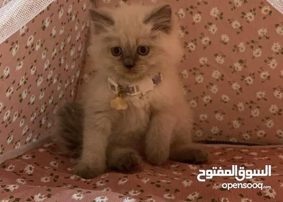 للبيع قطط هيملايا بيور
