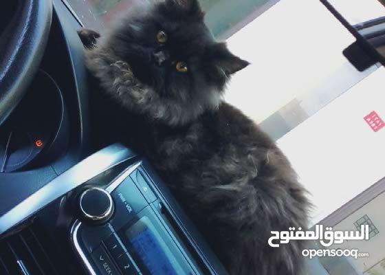 قطه انثي