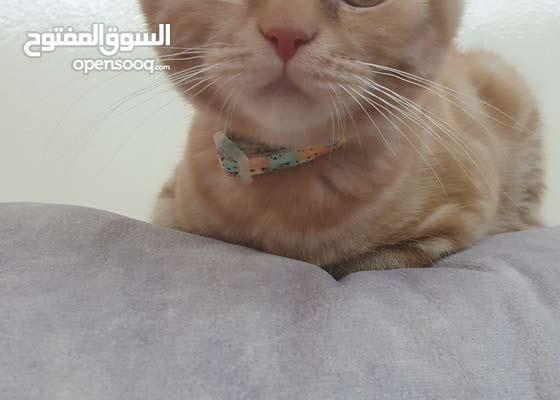 Scottish Fold Chinchilla Male Kitten