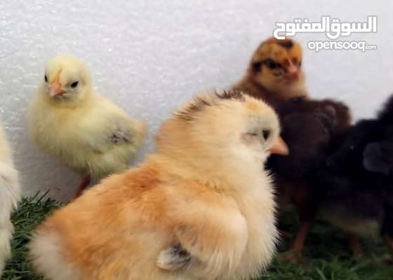 صوص دجاج مشكل
